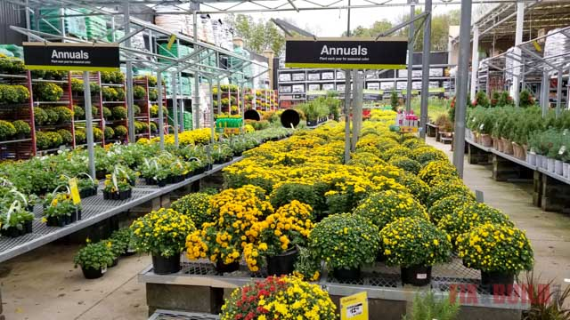 Yellow Mums at Home Depot
